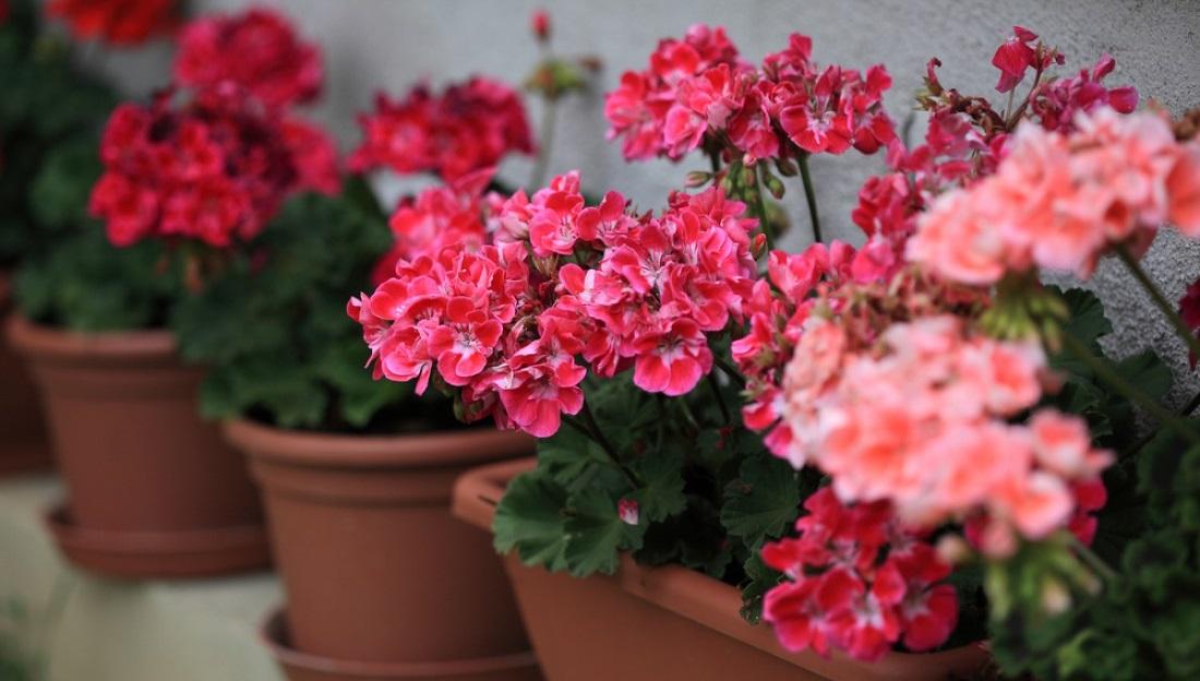 Цветущие растения в горшочках