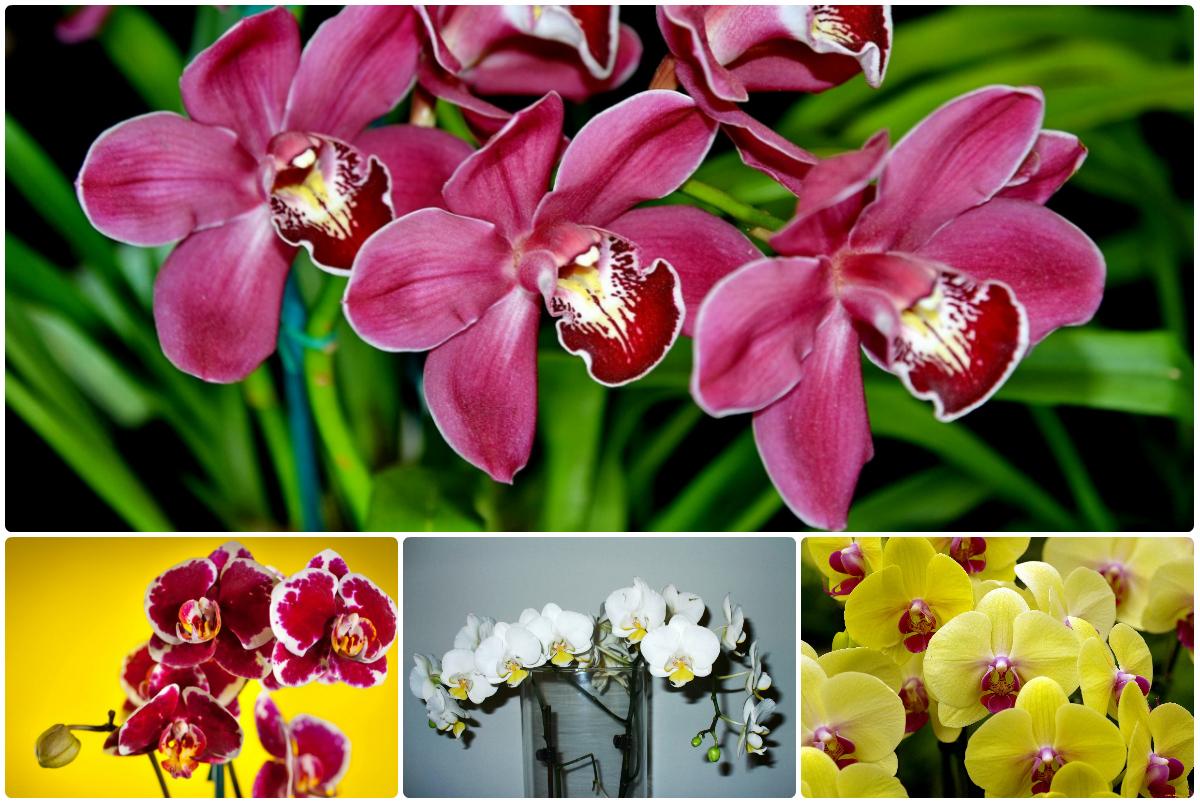 Разноцветные орхидеи